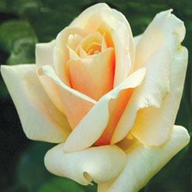 Ruža Ambasador