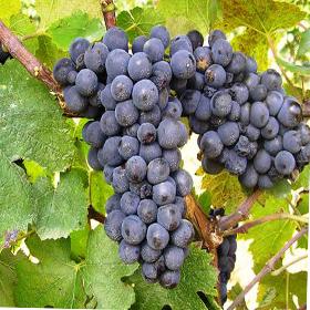 Vinova loza Pino Noir ( Crni Burgundac )