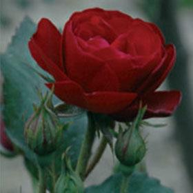 Ruža Nina Vajbul