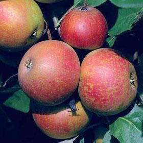 Jabuka Kožara