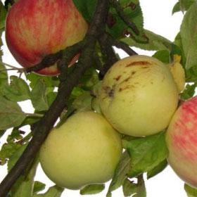 Jabuka Petrovača