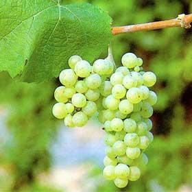 Vinova loza Rajnski Rizling