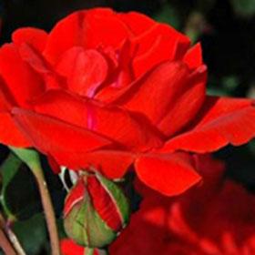 Ruža Čin-čin