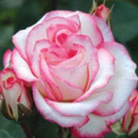 Ruža Dijadem