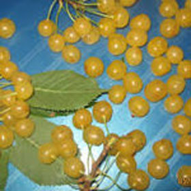 Trešnja Draganova žuta