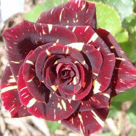Ruža Hokus pokus