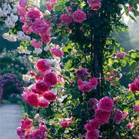 Ruža Parada