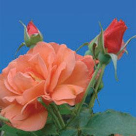 Ruža Vesterlend