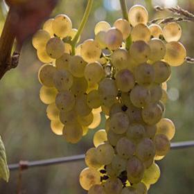 Vinova loza Italijanski Rizling- graševina