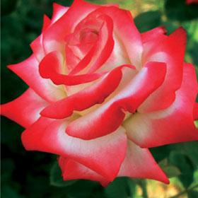Ruža Kajzer Farah