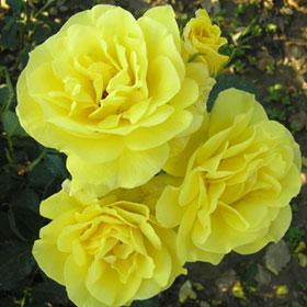 Ruža Mini Žuta