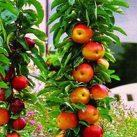 Stubasta jabuka Polka